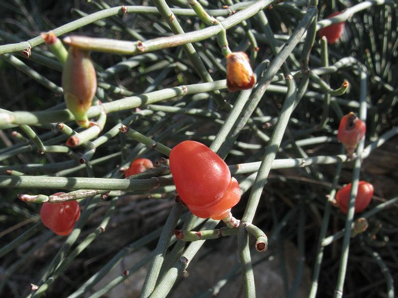 100 Saatgut seeds Ephedra Ephedra Nebrodensis